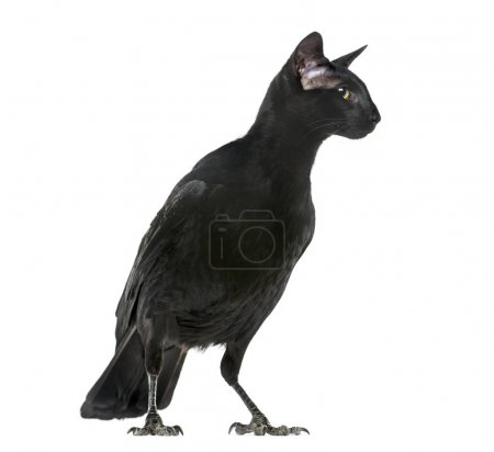 chimera with Carrion Crowand a head of Oriental Shorthair cat on
