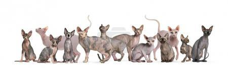 Sphinx Hairless Cats sitting and standing against white backgrou