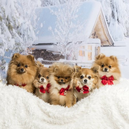 Photo for Chihuahuas, Spitz and Pomeranians sitting in winter scene wearing bow ties, portrait - Royalty Free Image