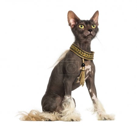 chimera with a Chinese Crested dog with the head of a Lykoi cat