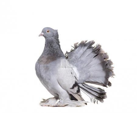Photo pour Pigeon Fantail anglais sur fond blanc - image libre de droit