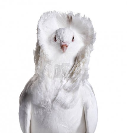White Jacobin pigeon portrait against white background