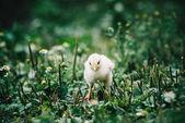 newborn chicken on grass