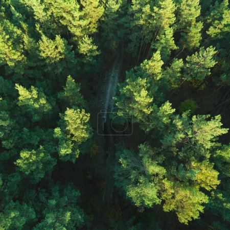 Photo for Beautiful panoramic photo over the tops of pine forest. Aerial view. From above. Picture taken using the copter. Top view - Royalty Free Image