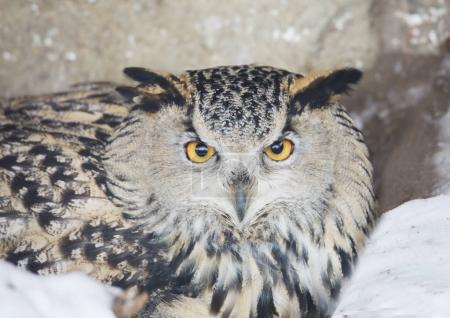 Bird owl. Despite its size, it flies fast enough and in flight is able to catch up with the crow. At the same time, the maximum speed of the owl can develop from the first flaps of the wings.