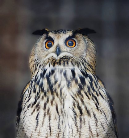 Owl bird It is a large bird. Despite its size, it flies fast enough and in flight is able to catch up with the crow. At the same time, the maximum speed of the owl can develop from the first flaps of the wings.