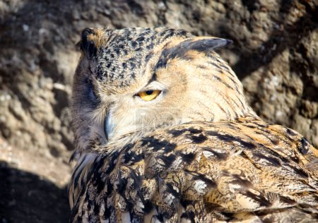 Owl. Owl is a large bird belonging to the detachment of owls. Despite its size, it flies fast enough and in flight is able to catch up with the crow. At the same time, the maximum speed of the owl can develop from the first flaps of the wings.