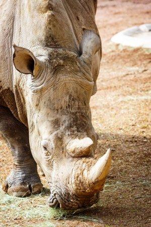 Close-up New Rhino at Phoenix Zoo