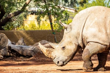 New Rhinoceros at Phoenix Arizona Zoo