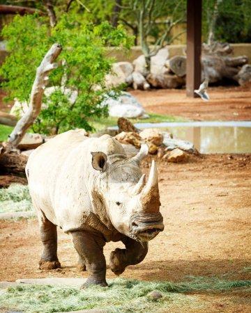 New White Rhino at Phoenix Zoo