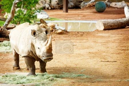 White Rhinoceros New at Phoenix Zoo