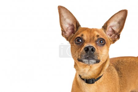 brown color Chihuahua crossbreed dog