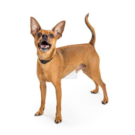 Tan color Chihuahua dog
