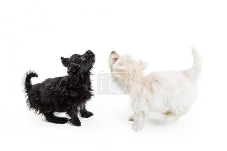 Black and white Maltese dogs