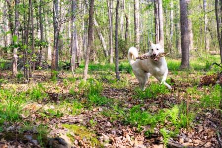 white shepherd dog outdoors