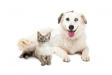 crossbreed dog and Siamese cat