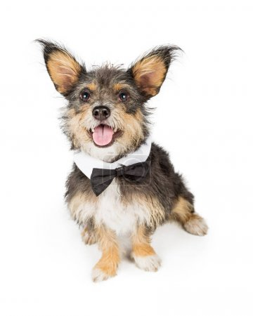 Cute Small Dog Wearing Bow Tie