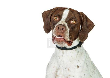 Shorthaired Pointer Dog