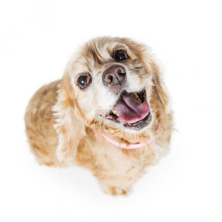 Senior Cocker Spaniel Dog