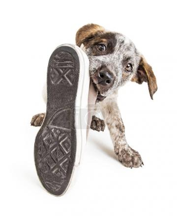 Photo for Funny photo of young puppy dog stealing old dirty shoe to chew on it - Royalty Free Image