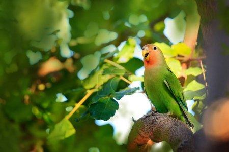 Peach-faced lovebird in tree