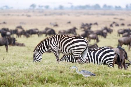 Herds of zebra and wildebeest