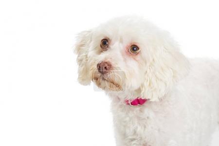 Closeup Maltese Dog on White