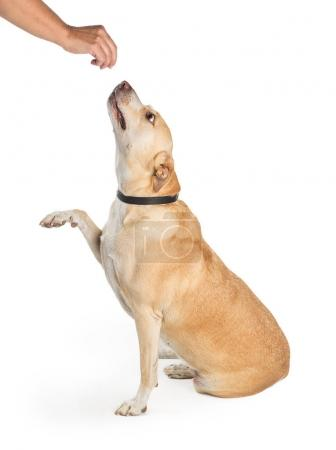 Dog Raising Paw for a Treat