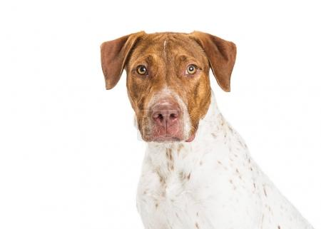 Pointer and Pit Bull Crossbreed Dog
