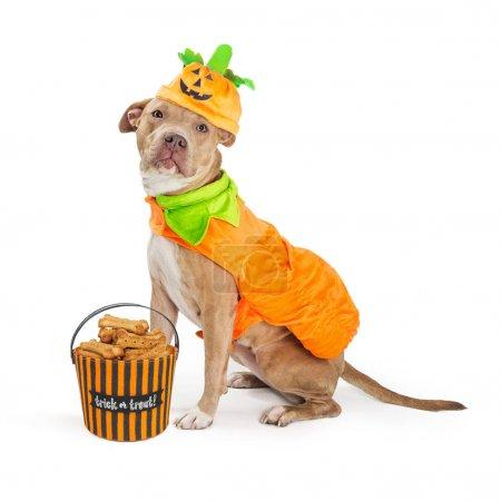 pitbull dog in pumpkin Halloween costume