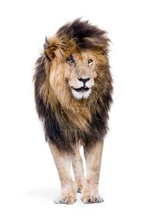 Famous African lion Scar