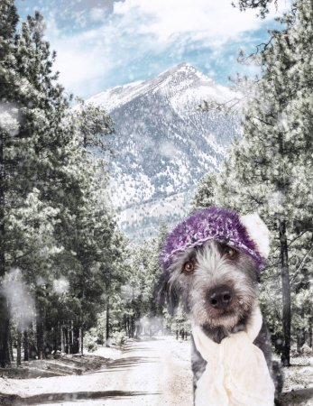 Closeup of a dog wearing cap and scarf in a snowy winter scene along a forest road leading to the snow-capped mountains in Flagstaff, Arizona