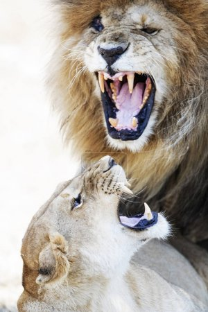 lion and his lioness mate show aggression while mating in Mara Triangle in Kenya, Africa.