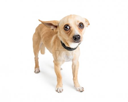 Shy and scared Chihuahua dog. Image taken at an animal rescue with white studio background