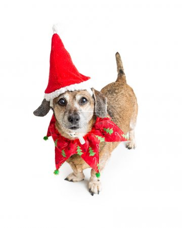 Cute mixed small breed dog wearing Christmas collar and Santa Claus hat. Isolated on white.