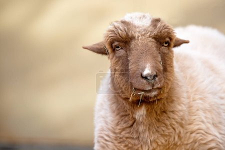 Closeup photo of cute fluffy sheep with copy space