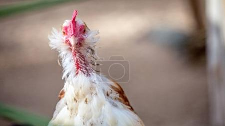 Closeup of funny chicken with feathers missing, looking into camera