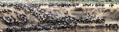 herds of zebra and wildebeest leaping into the Mara River in Kenya, Africa, during migration season