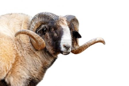 Closeup of Navajo Churro Sheep with big, long horns, Isolated on white
