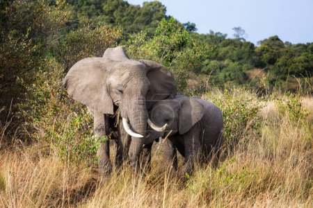 Mother and baby African elephants together in the grassland of the Mara Triangle in Kenya, Africa