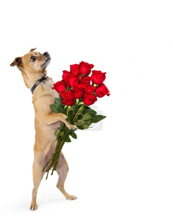 Photo for Cute little Chihuahua dog standing up on hind legs holding bouquet of a dozen roses - Royalty Free Image