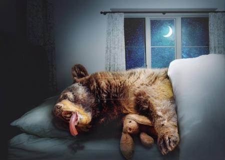 Photo pour Drôle de composite photo d'un gros ours dormant sur un lit la nuit dans une maison tout en blottissant un lapin farci - image libre de droit