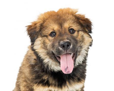 Cute young Chow crossbreed puppy dog with mouth open and tongue out isolated on white