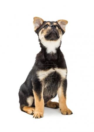 Cute young Rottweiler and Chow mixed breed puppy dog sitting on white and looking up