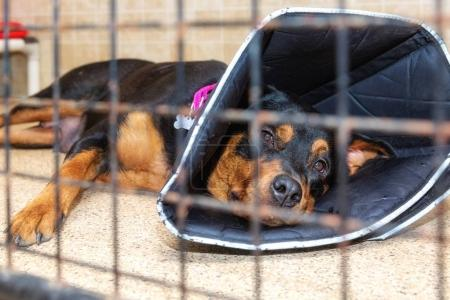 Large injured dog lying down of floor of shelter or veterinary hospital with protective cone on head
