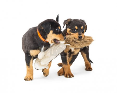 Two young black and tan Rottweiler crossbreed puppies playing together with stuffed toy