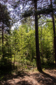 Spring in the pine forest of Yagry island, Severodvinsk. Bright young birch foliage. Sunny day.