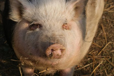 close-up of cute little pig on farm