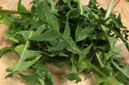 washed dandelion leaves for salad, close-up