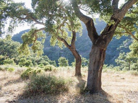 Cork Oak In Spain, Algeciras, Nature Park Los Alcornocales